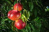 Agriculture - Closeup of Fantasia nectarines on the tree, ripe and ready for harvest / near Dinuba, California, USA.