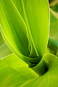 Agriculture - Foliage of a pre tassel grain corn plant in mid Spring / Mississippi, USA.