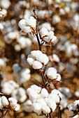 Agriculture - Mature, harvest ready stalk of 5-lock cotton bolls stand out from a mature cotton field / Mississippi, USA.