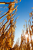 Agriculture - Low angle view of a stand of mature harvest ready grain corn stalks with the late afternoon sunlight glinting through the stalks / near Nerstrand, Minnesota, USA.