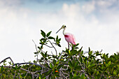 'Roseate Spoonbill (Platalea ajaja) perched on a mangrove shrub with clouds and blue sky; Tulum, Quintana Roo, Mexico'