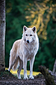 'Gray wolf (Canis lupus), white phase, Woodland Park Zoo; Washington, United States of America'