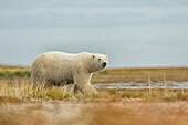 'Polar bear walking along the coast of Hudson Bay; Manitoba, Canada'