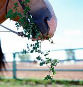 Close Up Of Horse Eating Greens, Brandon, Manitoba