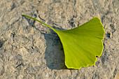 'Fv5535, Roderick Chen; Gingko Leaf'