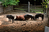 Mother And Young Pigs, Riverdale Farm, Toronto, Ontario
