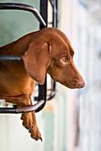 Dog Looking Out Window, Santiago De Cuba, Cuba.