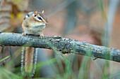 Chipmunk Sitting On A Fallen Branch, Ontario