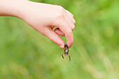 Hand Of Young Boy Holding Crayfish, Ontario