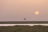 Gray Heron (Ardea cinerea) flies into the sunset on the Niger River between Lake Debo and Sebi, Mali