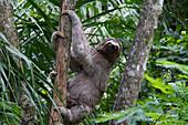 Brown-Throated Sloth (Bradypus Variegatus) On A Tree, Biocentro Guembe, Santa Cruz, Bolivia