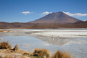 Flamingos In Laguna Hedionda, Potosi Department, Bolivia