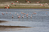 James's Flamingos (Phoenicopterus Jamesi) In Laguna Grande, Sama National Park, Tarija, Bolivia