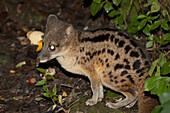 Striped Civet Cat (Fossa Fossana) In Ranomafana National Park, Fianarantsoa Province, Madagascar