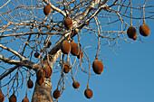Baobab Fruits At Reniala Reserve, Mangily, Toliara Province, Madagascar