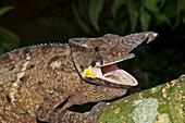 Lesser Chameleon (Furcifer Minor), Marozevo, Toamasina Province, Madagascar