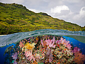 'A half above, half below look at a Fijian reef with alconarian and gorgonian coral and a green sea turtle (Chelonia mydas); Fiji'