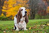 'Basset Hound in autumn; St. Charles, Illinois, United States of America'