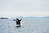 A killer whale breaches in Prince William Sound, Southcentral Alaska