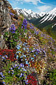 Wildflowers bloom along the slopes of the Chugach Mountains in southcentral Alaska.
