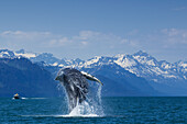 Breaching Humpback Whale in Lynn Canal with the Chilkat Mountains in the background, Southeast Alaska