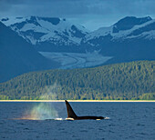'The ''blow'' of a male Orca Whale catches the evening light creating a ''rainbow'' in its mist with Herbert Glacier in the background, Lynn Canal near Juneau, Inside Passage, Southeast Alaska.'