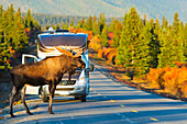 Bull moose Alces alces stands on the park road in front of a recreational vehicle, Denali National Park, Interior Alaska