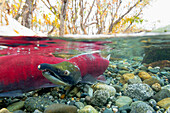 Split view of surface and underwater of a female Sockeye salmon, Gulkana River, Southcentral Alaska