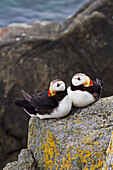 Pair of Horned Puffins Fratercula corniculata sitting on a lichen covered boulder, Walrus Islands State Game Sanctuary, Round Island, Bristol Bay, Alaska