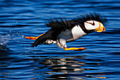 Horned puffin Fratercula corniculata taking off, Kodiak, Alaska, summer
