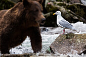 Coastal brown bear fishing in a river with a sea gull in the foreground, Katmai National Park and Preserve, Southwest Alaska