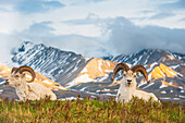 Two adult Dall Sheep rams resting on a hilltop at Polychrome Pass in Denali National Park