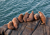 Pacific walrus Odobenus rosmarus group of males hauled out on Flat Rock, Walrus Islands State Game Sanctuary, Round Island, Bristol Bay, Western Alaska, USA