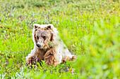 Grizzly Bear on green tundra, Denali National Park & Preserve, Interior Alaska, Summer.