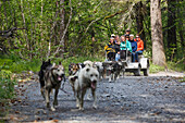 Tourists take a ride through the forest with Iditarod sled dogs using a summer training cart at Seavey's Ididaride Sled Dog Tour in Seward, Alaska