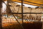 Chum salmon roe drying in a Smoke house, Kobuk fish camp, Shungnak, Arctic Alaska, Summer