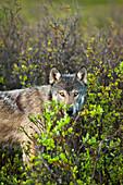 Wolf portrait in fresh green tundra, Interior Alaska, Summer.