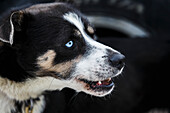 Close up of a Charlie Benja dog during a Vet Check in Wasilla, Alaska, 2014 Iditarod