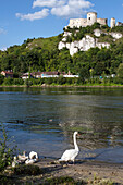 a goose and her goslings on the banks of the seine in front of the medieval fortress of chateau gaillard built by the english king richard the lionhearted in 1198, les andelys, eure (27), normandy, france