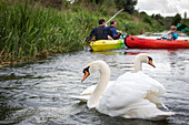 swans on the eure river as canoes pass, beaumont-le-roger, (27) eure, france