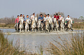 the abrivado, the bulls are encircled by the ranchers on their camargue horses and go into the meadow, traditional event, aigues-mortes, gard, camargue, france