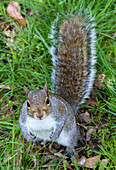 squirrel in wollaton hall park, wild and friendly animal, nottingham, midlands, england, great britain
