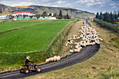 icelandic farmer during the round-up of sheep called the rettir, iceland, europe