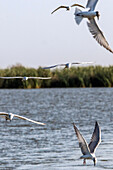common terns in flight, djoudj national bird park, third biggest ornithology reserve in the world, listed as a world heritage site by unesco, senegal, west africa