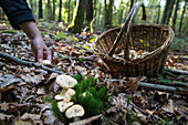 gathering edible mushrooms (sweet tooth, wood hedgehog, hedgehog mushroom) in the forest of conches-en-ouche, eure (27), france