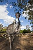 Emu, Dromaius novaehollandiae, Brisbane, Australia