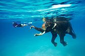 Swimming elephant Rajan, snorkelers and divers of the Barefoot Scuba Diving School accompanying him, at Beach No. 7, Havelock Island, Andaman Islands, Union Territory, India