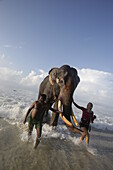 Swimming elephant Rajan coming of the water, snorkelers and guide Mahmut, tour of Barefoot Scuba Diving School, at Beach No. 7, Havelock Island, Andaman Islands, Union Territory, India