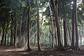 Badak trees, forest, Havelock Island, Andaman Islands, Union Territory, India