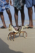 Big crab from the by-catch, beach of Hat Bay, main town of Little Andaman, Andaman Islands, Union Territory, India
